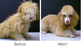 Scruffy Before and After Dog Grooming
